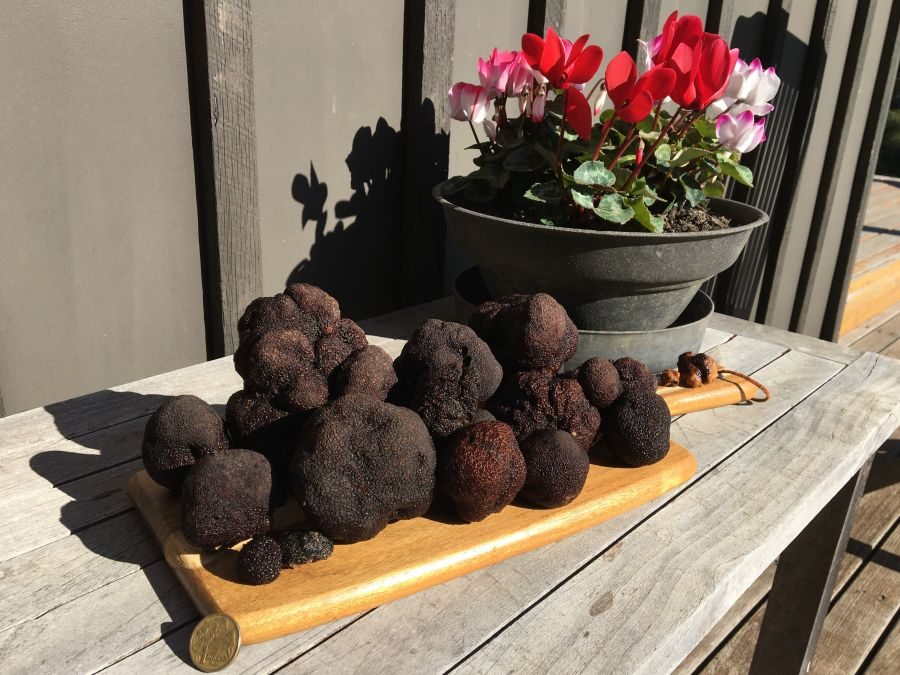Fresh Victorian black winter truffles